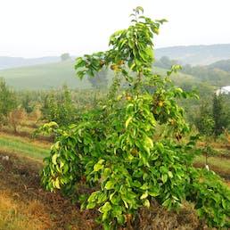 JunoSan Asian Pears