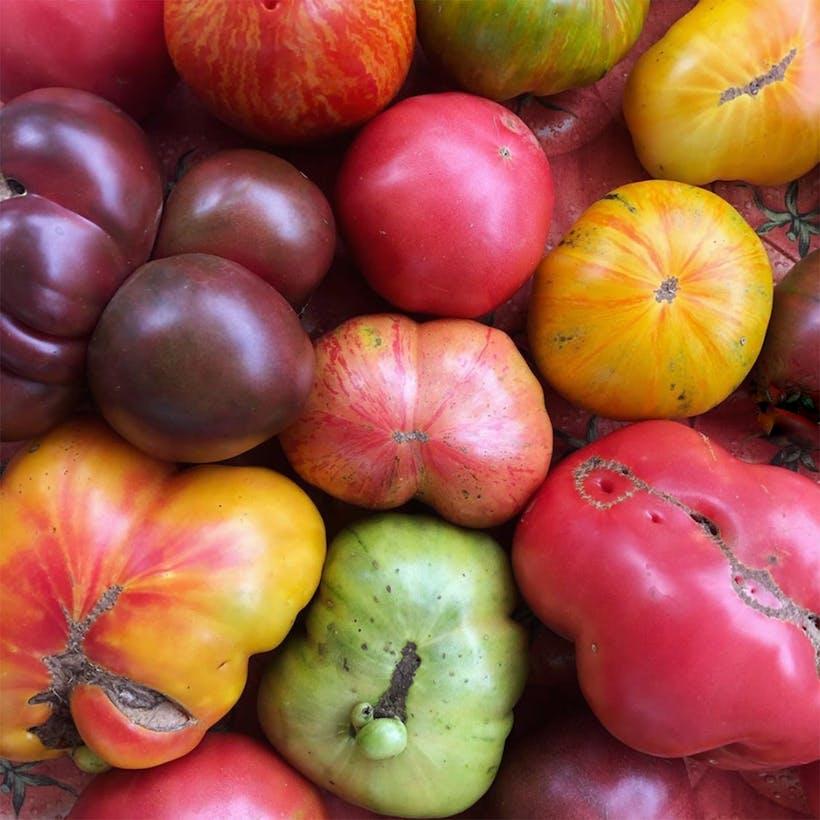 Oversized Heirloom Tomato Variety - 4 Pack